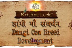 dangi-cow-breed-development-kl