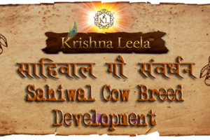 sahiwal-cow-breed-development-kl