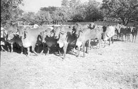 Gir Cow Group Photos