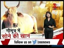 gir-cow-gold-mine03