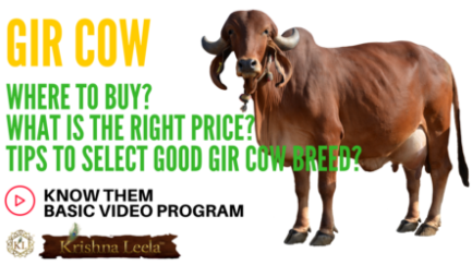 Gir Cow – Where to Buy? Right Price? Tips to Select