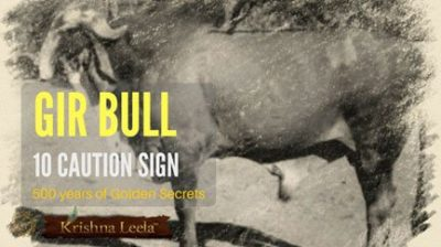 Gir Bull Price – 10 Caution Sign While Buying