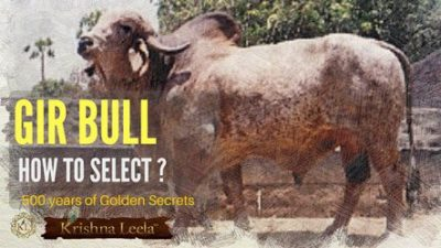 Gir Bull For Sale – 25  Tips for Selection