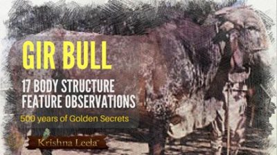 Gir Bull Selection  Vedic Way 17 Tips