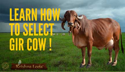 How to Select Gir Cow