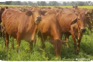 Sahiwal Cow Breed (Milking Cattle)