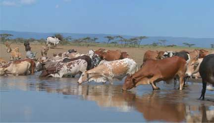 Amrut of Dairy Farms in India
