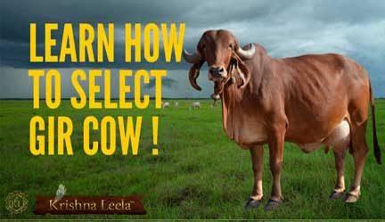 Gir Cow Selection
