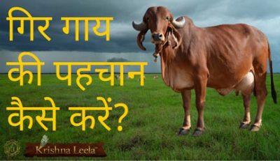 गिर गाय की पहचान कैसे करें?